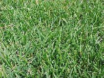 types of lawn grasses